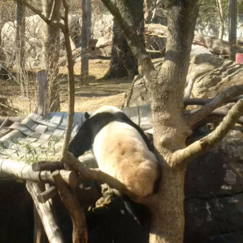 Bao Bao's got this! Smithsonian National Zoo, February 21, 2017