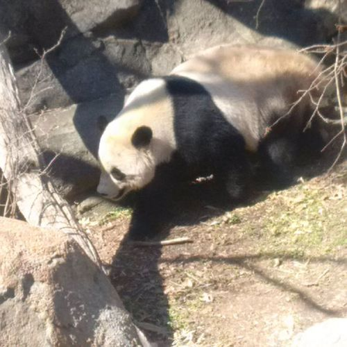 Bao Bao on a mission, Smithsonian National Zoo, February 21, 2017