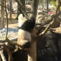 Bao Bao's almost there, Smithsonian National Zoo, February 21, 2017