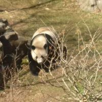 Bao Bao on the move, Smithsonian National Zoo, February 21, 2017